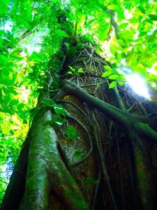 Chiapas arbol